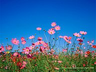Cosmos Flowers and Cosmos Flied (Vol.02)20 pics